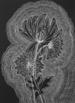 """Chrysanthemum,"" Silver Sharpie paint pen on black paper, 22"" x 30"""